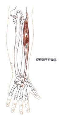 短橈側手根伸筋イラスト.jpg